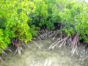 Key's Mangroves